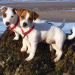 Jack_Russell_Puppies