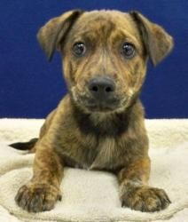 Mario is a two-month-old adoptable Catahoula Leopard Dog in Nashville.